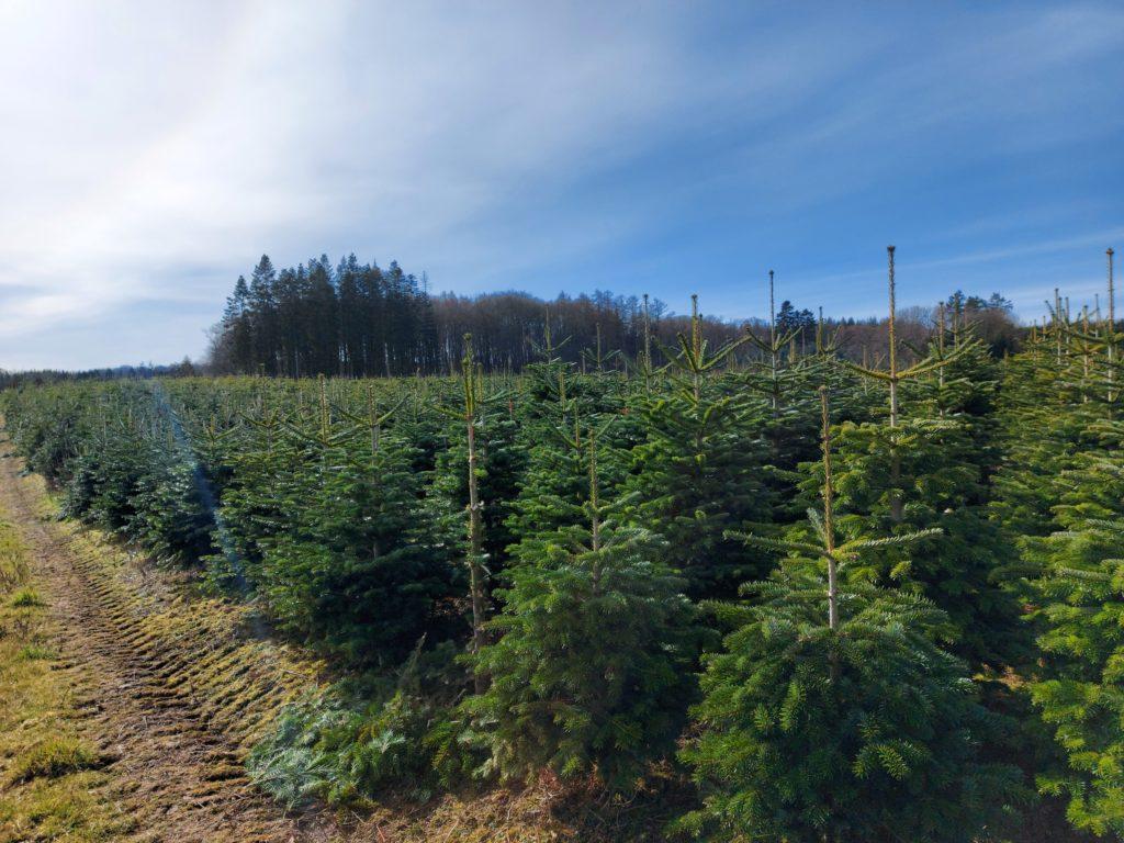 juletræsproduktion
