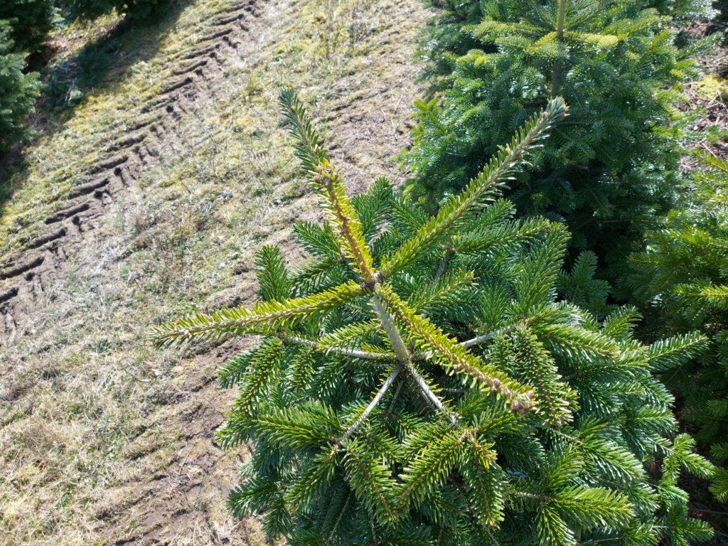 bliv leverandør af juletræer