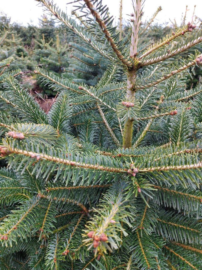 Sorteringsvejledning for juletræer
