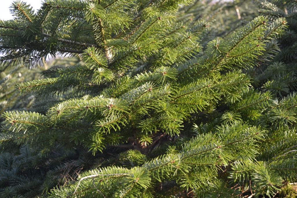 bliv forhandler af juletræer