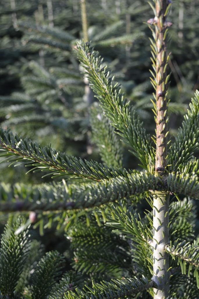 juletræer engros